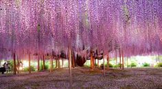 I LOVE WISTERIA! A must see: The giant wisteria tree in the Ashikaga Flower Park in Tochigi Prefecture in Japan, as photographed by National Geographic. Wisteria Tunnel, Wisteria Garden, Wisteria Tree, Wisteria Japan, Wisteria Trellis, Most Beautiful Gardens, World's Most Beautiful, Beautiful World, Absolutely Gorgeous
