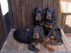 gorden stters   Add photos Gordon Setter dogs in your blog: