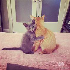 catscenter:    From @Gastonlemagnifique: A little hug makes everything better! #catsofinstagram by cats_of_instagram  baddcats.com baddcats cats cat kittens kitten kitty
