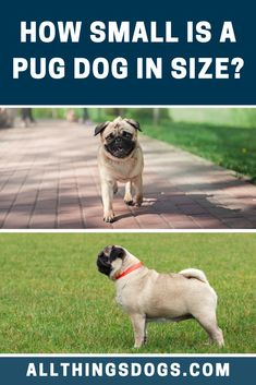 The Pug size can be classified as toy-sized, with them standing between 10 to 13 inches in height and weigh in around 13-18 pounds. Read on for more details.  #pug #pugsize Happy Animals, Animals And Pets, Miniature Dog Breeds, Cute Dogs Breeds, Animal House, Rabbits, Pugs, Pet Dogs, Toy