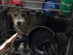 A Reddit user said his dad texted him saying his dog went missing. Twenty minutes later, he sent him a photo of where he'd found Bear: sitting in the dishwasher.