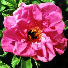 "'Moje Hammarberg'  (Rugosa Hybrid) - reddish violet flowers, single or loosely double, more than 3"" across with a strong fragrance; dense growth with large, deep green leaves; forms few, but wonderful large scarlet hips;  4'x3'; Z3;  favorite of bees."