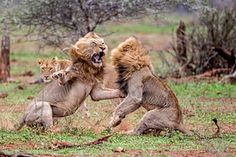 Two male lions fight after one interupted whil the other was mating.