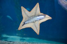 Starfish eating an anchovy