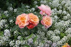 мне нравится, как выглядят розы на фоне алиссума (лобулярии)