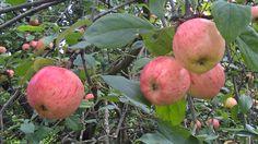 Dream Garden, Apple, Fruit, The Fruit, Apples