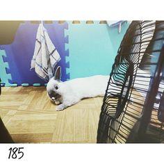 16.0403 DAY185 叫我電風扇王子  好舒服好舒服 I like sleep with fen  the windy also sleep on my body  #nuomi #instaanimal #bunnylove #bunny #usagi#ウサギ#instabunny #rabbits #instarabbit #dailyflufffeature #侏儒兔 #兔  #rabbit #iganimal_snaps #iganimal#instacute#pets #happy_pet #taiwan #nuomi185 #185 #星期日 #sleep #fen #windy #電風扇 by nuomi_1002