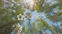 mixed forest. pines and birches. the tops of the trees on a sunny day - Stock Footage | by pzaxe