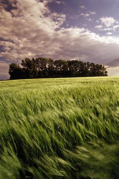 Barley field in Tiger Hills, Manitoba, Canada O Canada, Canada Travel, Canadian Prairies, Field Of Dreams, Beautiful Landscapes, The Great Outdoors, Countryside, Fields, Beautiful Places