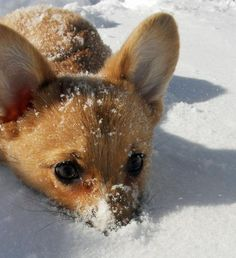 I find it difficult to believe that there is a Chihuahua out there who will lay in the snow.