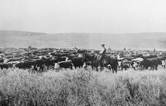 Grant-Kohrs Ranch Cowboys Moving Cattle