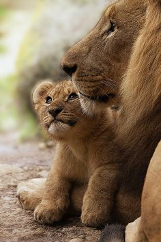 Lion Art Print featuring the photograph I Love My Daddy by Christine Sponchia Big Cats, Cats And Kittens, Cute Cats, Lion Pictures, Animal Pictures, Beautiful Cats, Animals Beautiful, Cute Baby Animals, Animals And Pets