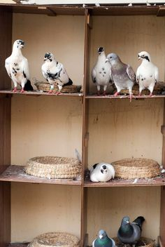 pigeons in china