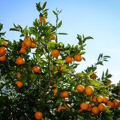 Miho Satsuma Satsuma Tree, Satsuma Orange, Gardening Zones, Texas Gardening, Organic Gardening, Gardening Tips, Gardening Vegetables, Small Backyard Gardens, Courtyards