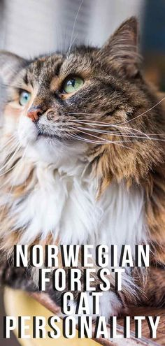 Norwegian Forest Cat Personality And Temperament Traits. Norwegian Forest Cat Personality And Temperament Traits. Maine Coon, Norwegian Forest Cat Personality, Cute Cats, Funny Cats, Adorable Kittens, Cat Anime, Cats And Kittens, Ragdoll Kittens, Amigurumi
