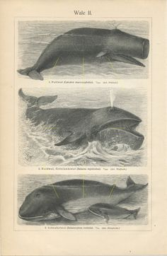 #Antiqueprint #whale. #Dolphin art. #Spermwhale. #Bowhead whale. #Narwhal. #Sealife. #Marinelife #Marinedecor. #Cetology. #Whalelover #Vintagedecor #Vintageprints Antique Prints, Vintage Prints, Whale Species, Common Dolphin, Pilot Whale, Dolphin Art, Whale Print, Life Aquatic