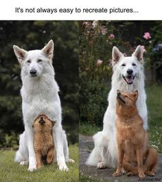 Top 36 Incredibly Cute Animal Pictures Around The World - JustViral.Net Animals are cute but baby animals are cutest. Funny Animal Memes, Dog Memes, Cute Funny Animals, Cute Baby Animals, Funny Dogs, Animals And Pets, Funny Memes, Cute Puppies, Cute Dogs