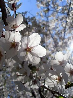 I'm about to bike ride over to High Park to see this year's crop of Sakura. Will keep everyone updated...