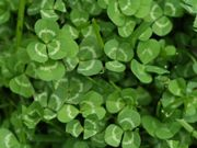 Clovers are legumes with the primary benefit of being soil nitrogen fixers.Thus clovers generally eliminate the need for nitrogen fertilize...