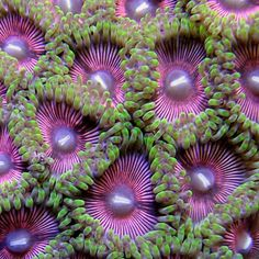 Zoanthids 'Dragon Queen Palythoa' Coral
