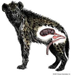 Female Spotted Hyenas have pseudo penises which they use to urinate and copulate; and it's even capable of an erection! They also have fake balls (pseudo-scrotum) made up of their fused labia. :O