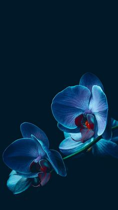 Excellent Photo Orchids wallpaper Style If you're new to everything about orchids , you shouldn't be petrified of them. Many orchids is Orchid Wallpaper, Flowers Wallpaper, Wallpaper Backgrounds, Wallpaper Plants, Iphone Wallpapers, Exotic Flowers, Amazing Flowers, Blue Flowers, Blue Orchids
