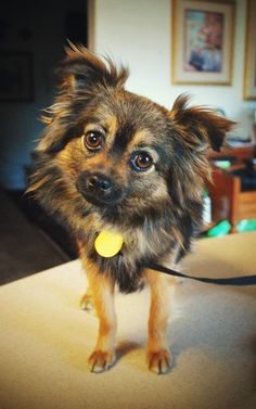 Adopt Elvis! Elvis is a 6 pound adoptable Pomchi (Pomeranian/Chihuahua mix) in CA.  He is the sweetest little dog and loves everyone. He's great with other dogs, both large and small and he is fine with cats. He is crate trained, and  HOUSE TRAINED.  He would make a wonderful loving companion to any family. http://theperfectdog.org/adoption/