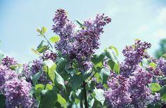 Cultivo y cuidado de las lilas