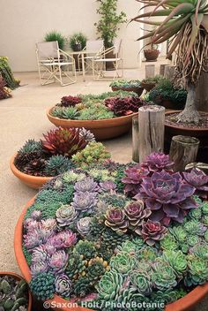 Containers of succulents on Santa Barbara patio: