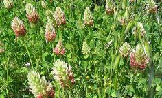 Inkarnatklee (Trifolium incarnatum): Aussaat V-VIII; schwere, nicht zu feuchte Böden; wurzelt bis 120 cm tief; bildet Stickstoff; verdrängt Unkraut; vertreibt Kohlfliegen; Bienenweide; winterhart