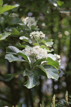 Sorbus aria 'Lutescens'  whitebeam