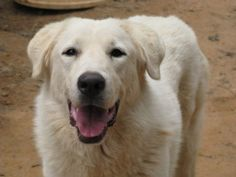 Kala is an adoptable Great Pyrenees Dog in Greenville, SC. Kala is a lovely Great Pyrenees/Labrador mix that came to us with her two sisters. She is about 70lbs at around two and a half years old and ...
