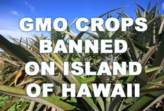 BREAKING NEWS: Big Island of Hawaii Passes Ban On GMOs!  http://soundofheart.org/galacticfreepress/content/breaking-news-big-island-hawaii-passes-ban-gmos