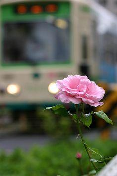 秋のバラ 大塚駅付近 2011年10月2日撮影