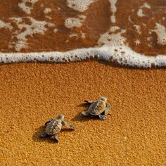 "Who will win? ""Young hawksbill's turtles race to the sea. Shot taken in Pantai Pengkalan Balak turtle sanctuary, Melaka, Malaysia."" by Yaman Ibrahim. - I love little baby sea turtles! Beautiful Creatures, Animals Beautiful, Turtle Hatching, Baby Animals, Cute Animals, Wild Animals, Funny Animals, Baby Sea Turtles, Sweet Turtles"