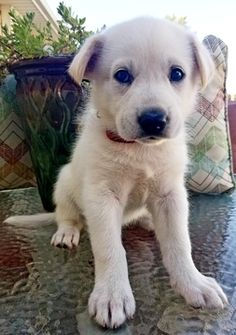 Litter Of 8 Gerberian Shepsky Mix Puppies For Sale In Ames Ia