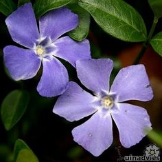 Vinca major grows all around our black walnut. I recommend vinca minor instead, since it is smaller and spreads less aggressively. Landscaping Tips, Plants, Garden, Vinca Minor, Petunias, Tiger Lily, Vinca, Garden Plants, Landscaping Plants