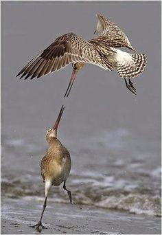 En garde! Bar-tailed Godwits