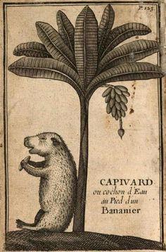 """Capivara eating a banana, illustrated in François Froger's """"Relation du Voyage, fait en 1695, 1696 & 1697, aux Côtes d'Afrique,"""" etc. (Paris, 1699).  I.love.capivaras."""
