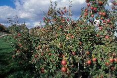 The Best Apple Varieties for the Northern Plains - FineGardening Fine Gardening, Gardening Tips, Growing Apple Trees, My Secret Garden, Secret Gardens, Apple Varieties, Tomato Garden, Garden Photos, Garden Design