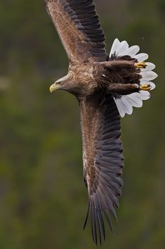_DSC1956 | Havsörn, White tailed eagle | By: Niklas_N | Flickr - Photo Sharing!