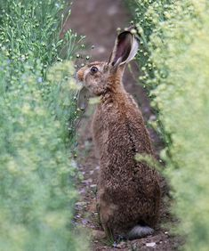 Young Brown Hare | by Dan Belton ( No Badger Cull )