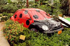 "Slug bug-(IA State University 2011)Reiman Gardens conservatory display was became a ""Ladybug Breakfast"" theme that highlights organic insect control with an unusual bug centerpiece. The gardens' horticulture staff found the discarded shell of a VW Beetle half-buried behind the Jerry Carney & Sons auto shop in Ames. The shop donated it for the project, & it was cleaned up & sent to Sign Pro in Ames for the vehicle wrap & custom Cyclone vanity plate, ""L8D BUG."""