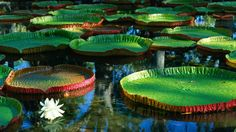 Water flowers giant (1920x1080, flowers, giant)  via www.allwallpaper.in