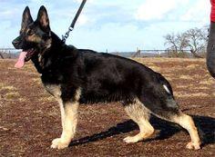 Solid, Black German Shepherds? | Yahoo Answers