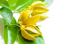 Ylang ylang essential oil helps skin retain moisture, tones and balances and is effective in reducing acne and other blemishes