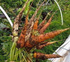 Winter-sweetened carrots.