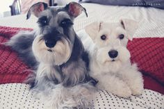 Rocket and Yuki by Melissa Heard #Miniature #Schnauzer