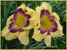 This is called Texas Painted Eyes from The Lily Farm. I love purple and since I was born in San Antonio, TX this is just another excuse to buy this daylily some day :)