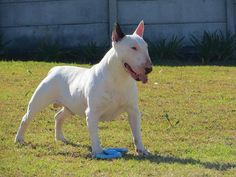 Caution:  Wild Bully at Play! #Bull #Terrier
